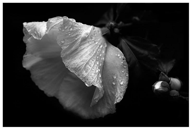 عکس+گل+سیاه+سفید